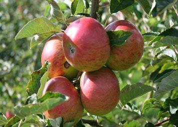 apples congleton